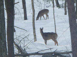 Two deer in snow-covered woods--'I'm shepherded out of....'