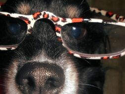 Closeup of 'MUSCLES' with leopard-glasses on--'Even I know wrong tails are waggin' the wrong dog here! '
